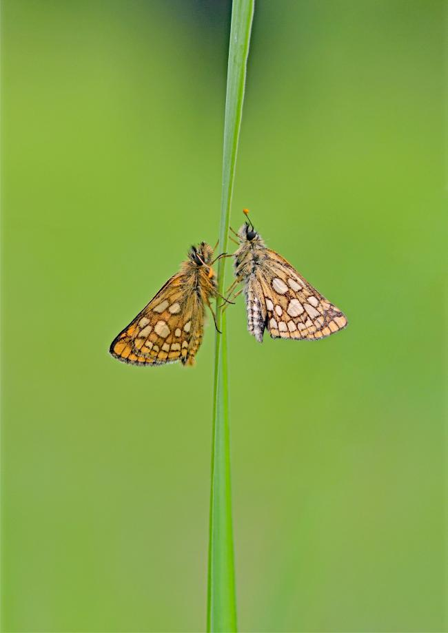 Chequered Skipper. Picture: Andrew Cooper