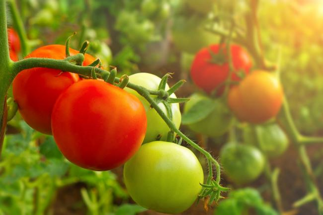 Tomato growers need to be vigilant