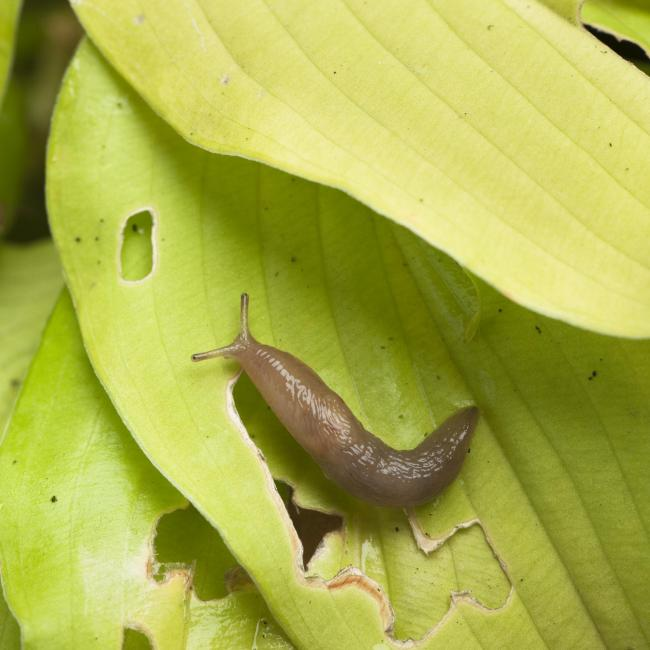 Blan on slug pellet pesticide withdrawn