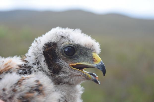 Tagged hen harrier chick 2019. Picture: RSPB