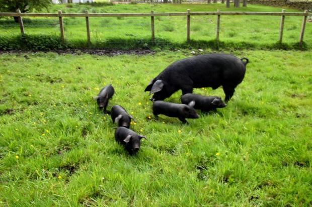 Outdoor reared pigs very rarely need toys to amuse them