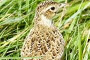 Farmland birds numbers have suffered another significant fall in numbers