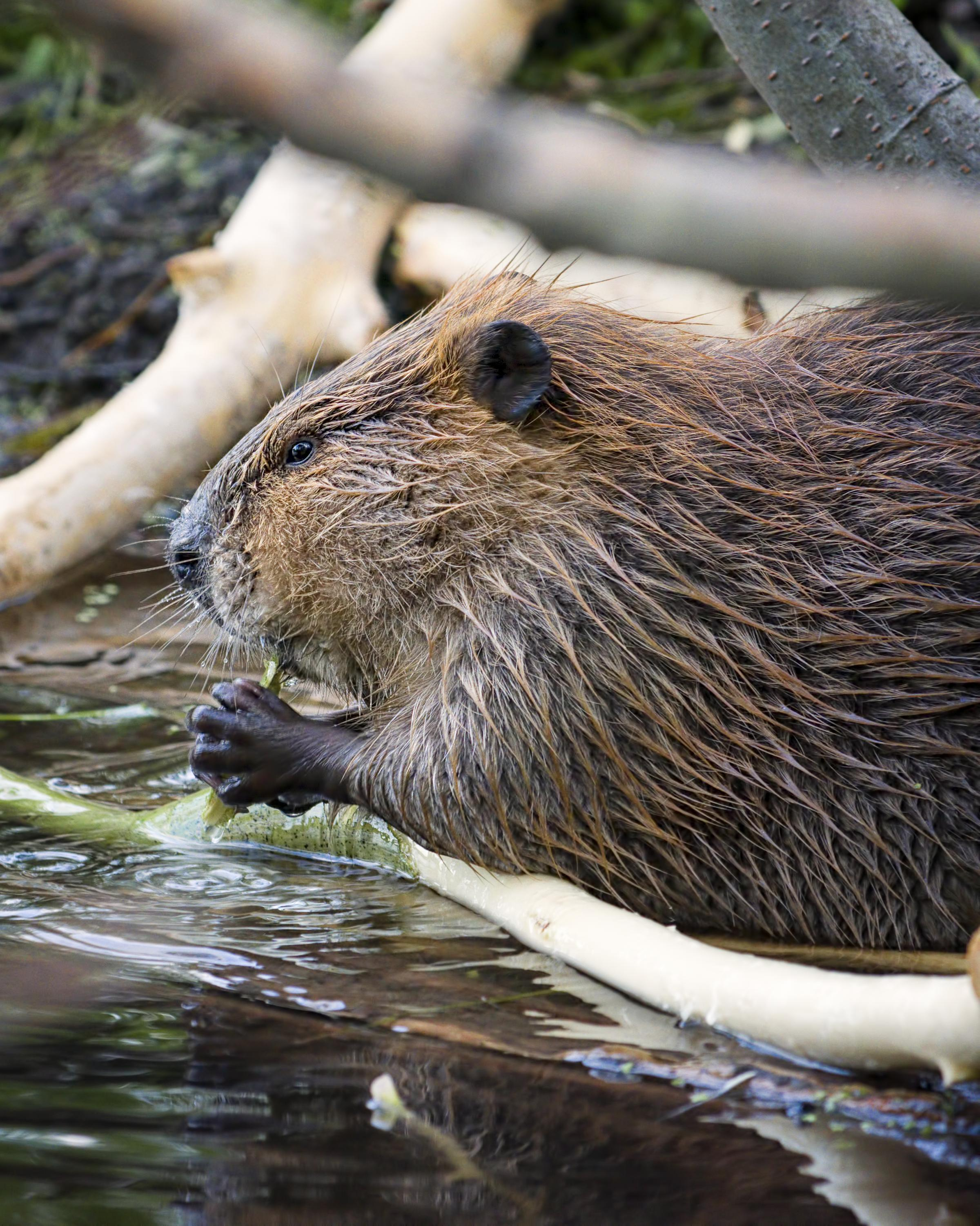 Bring back beavers to stop flooding, urges Mammal Society