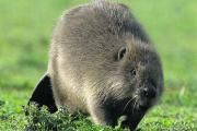 Beavers are