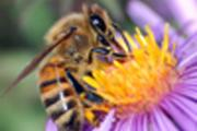 The impact of declining numbers of pollinators is more wide
