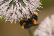 The National Pollinator Strategy has been launced to support bees and other pollinators