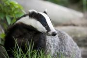 Male badgers pay the price for fighting