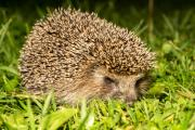 Hedgehog numbers have fallen by 30 per cent in ten years