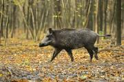 Wild boar can cause considerable damage