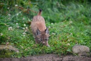 Purrrfect northern lynx triplets pounce and play in the Highlands