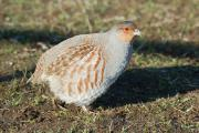 The Duke of Norfolk's inspiring Peppering Partridge Project on the South Downs has seen the dramatic recovery of a whole suite of nationally declining farmland bird species, such as our native wild grey partridge.