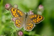 The UK's butterfly numbers are falling