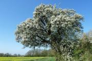 The Cubbington Pear is one of four UK trees you can vote for