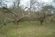 A threatened orchard adjacent to Great Crabbles Wood in Essex. WTML-Clive Steward