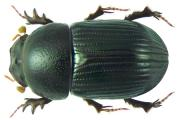 Call farmers to participate in dung beetle survey