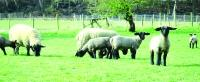 Smallholder: Suffolk ewes with lambs