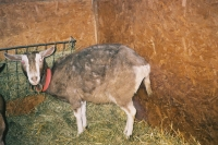 Diagnosing illness and nursing the sick goat
