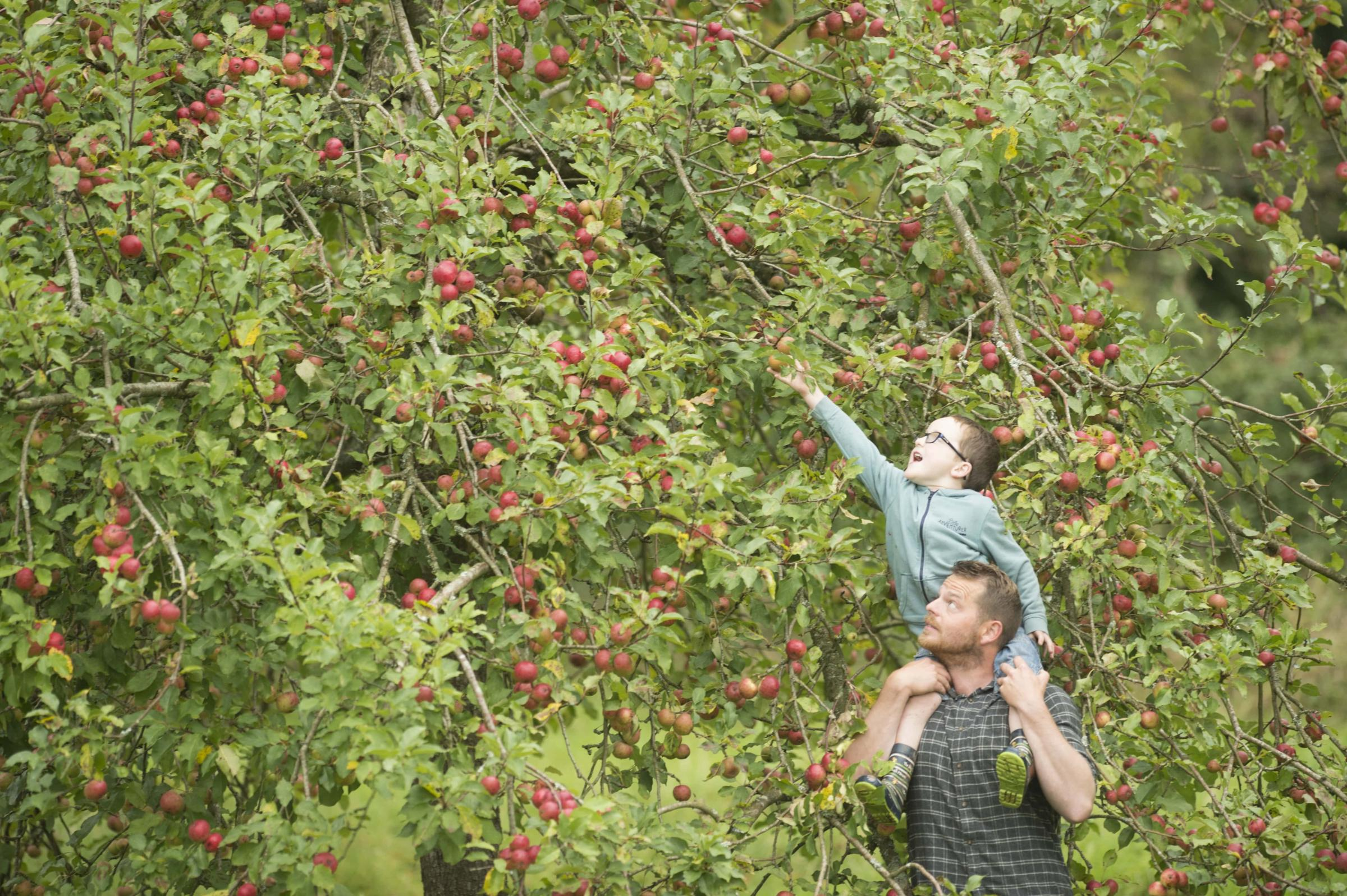 The summer rain has resulted in orchards being full of apples Photo: National Trust Images/Steve Haywood