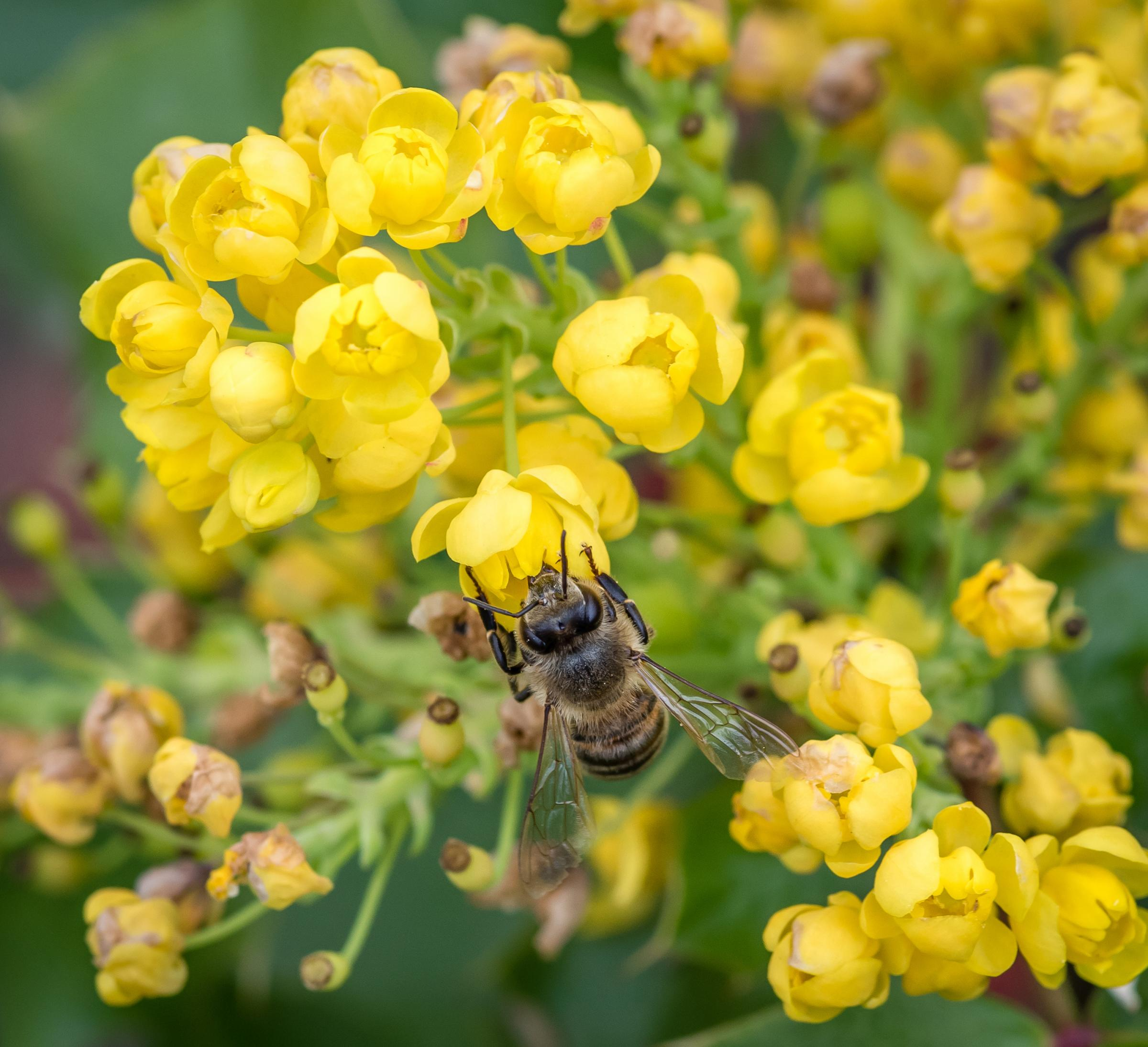 Mahonia is excellent winter food for bees