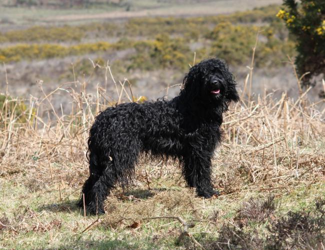 Kennel Club recognises French water dog, the Barbet, as pedigree. Photo: Wendy Preston