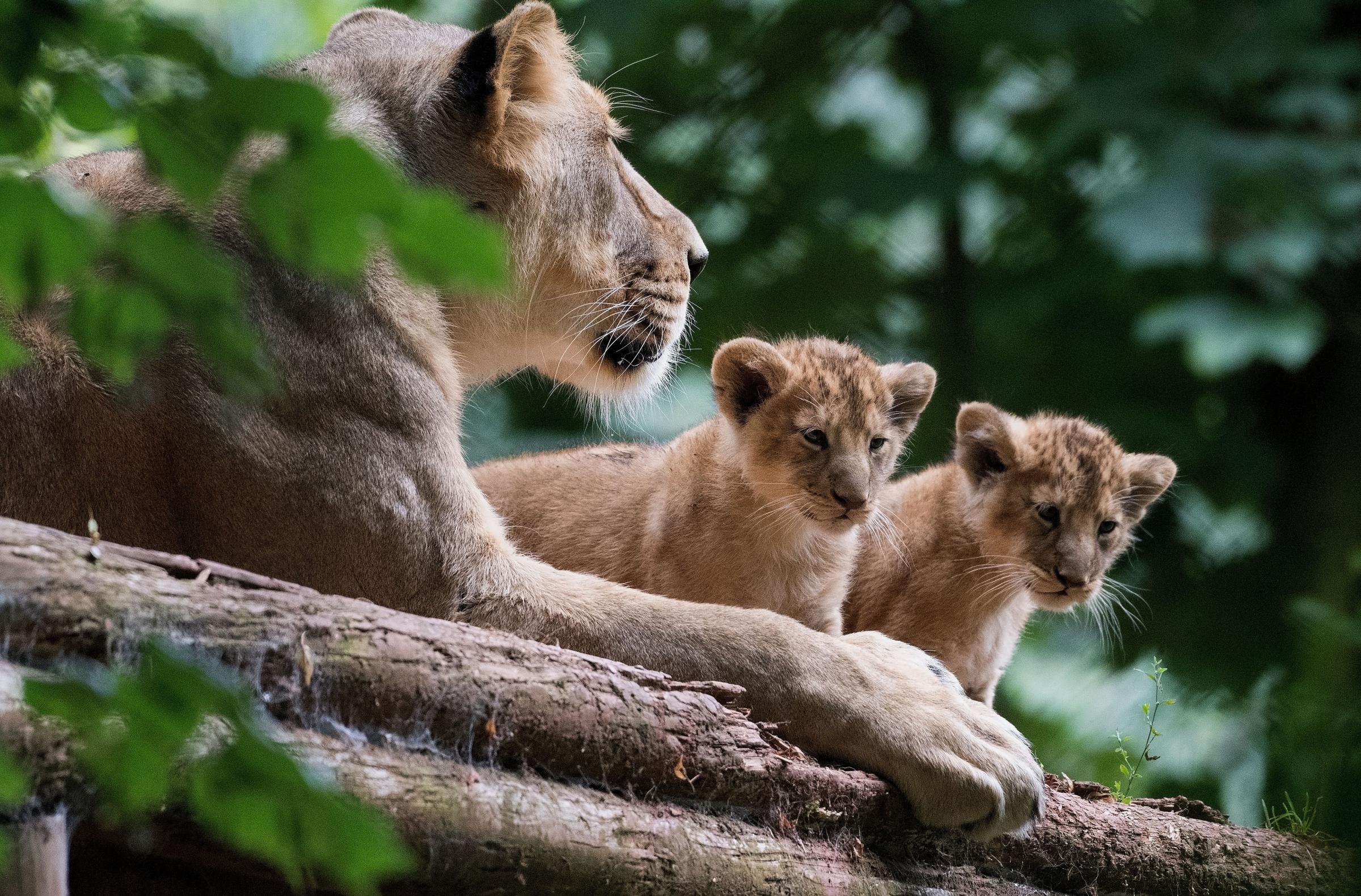 Maliya and her cubs at Paignton Zoo
