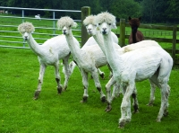 The short remaining coat can be seen on these shorn alpacas