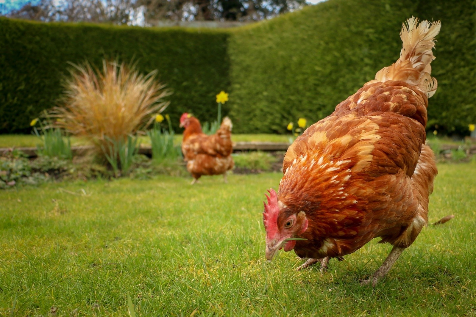 A lucky hen saved from the slaughterhouse and re-homed as a family pet