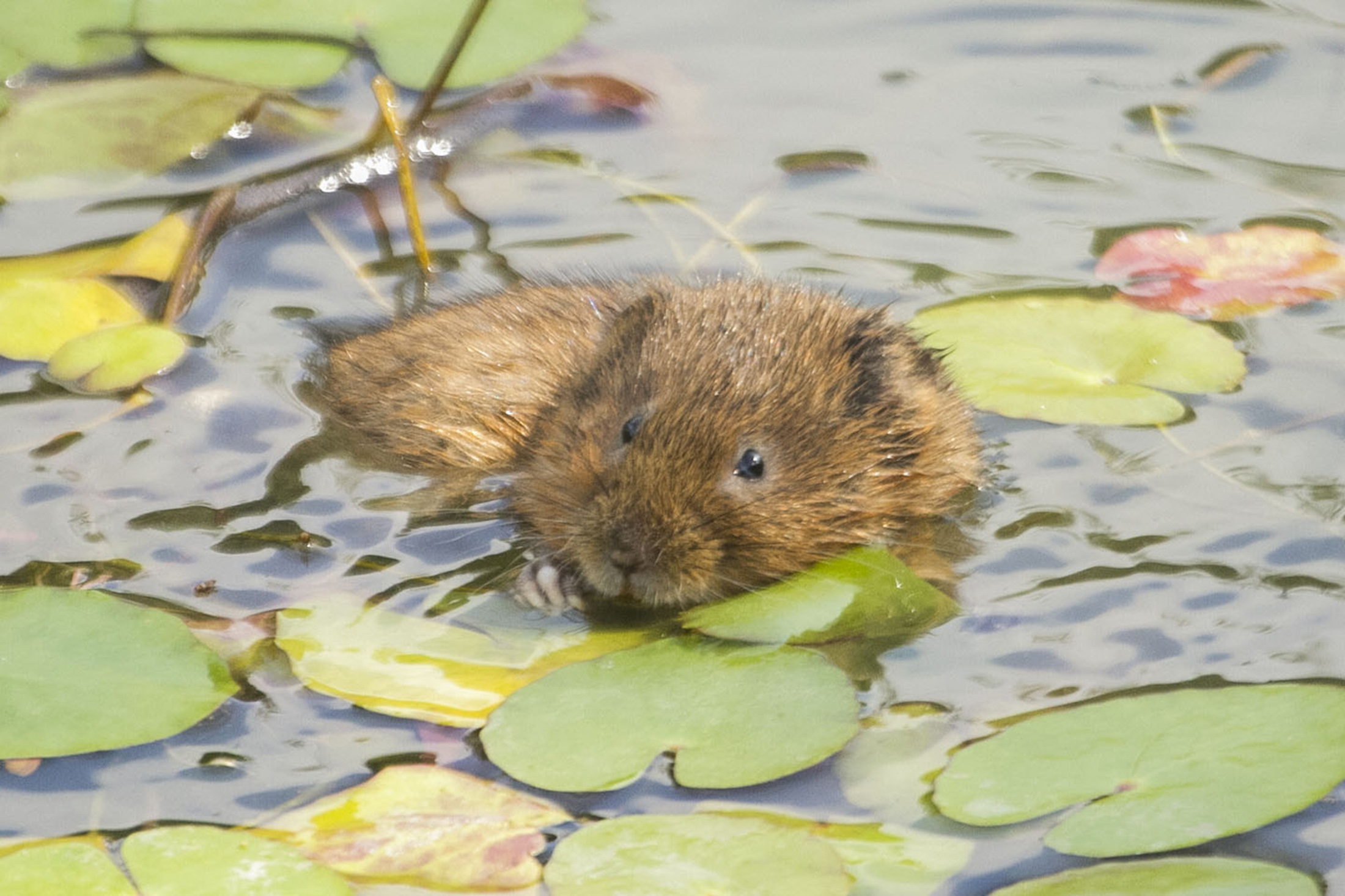 Can you monitor water voles for survey to help fight their decline?