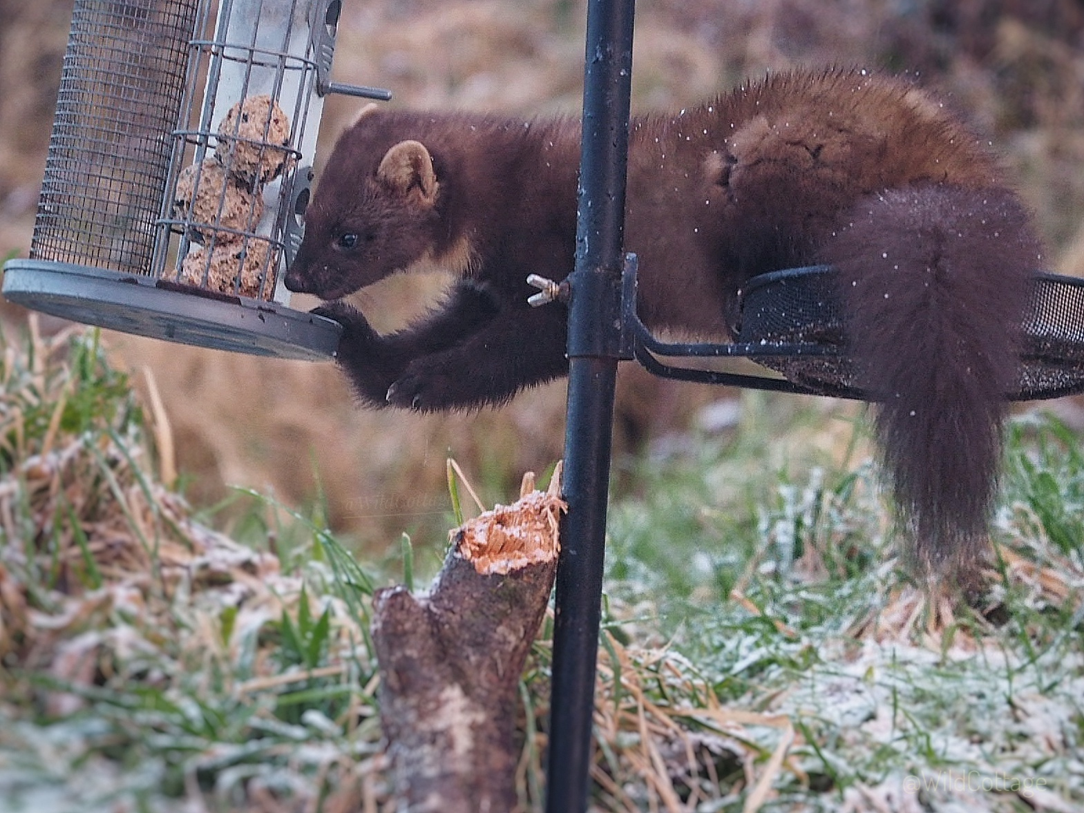The pine marten that visits Susan's smallholding