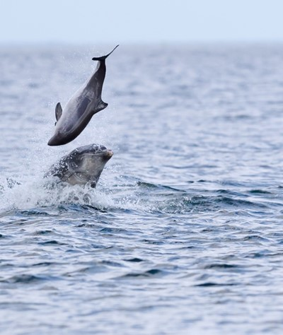 Bottlenose dolphin tossing a harbour porpoise up in the air on May 9 2018. Photo: Jamie Muny.