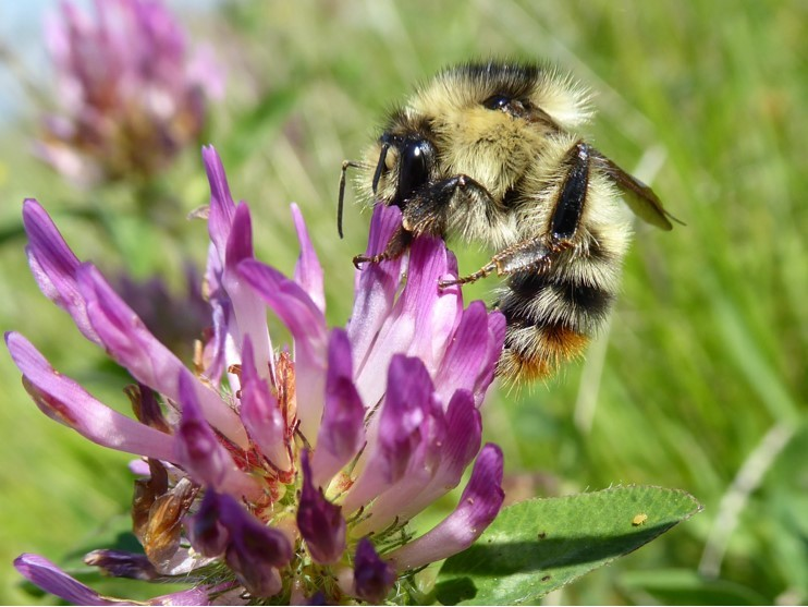 Shrill carder bee, Bombus slyvarum. Photo: Dave Watson