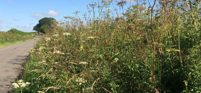Hogweed and oatgrass are invasive. Photo: Trevor Dines