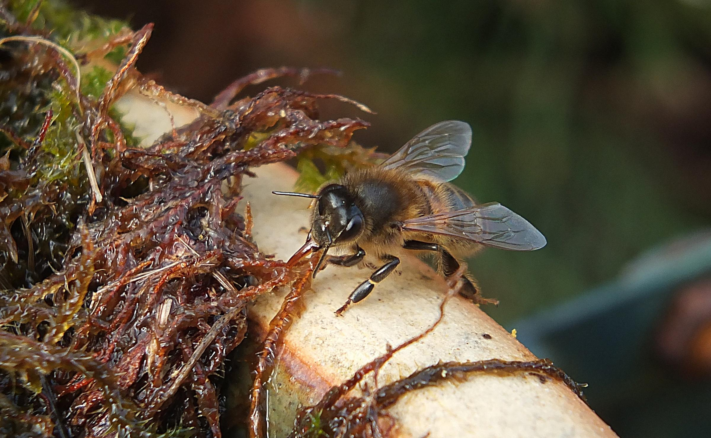Bee drinking safely from a moss-lined dish. Photo: Linton Chilcott