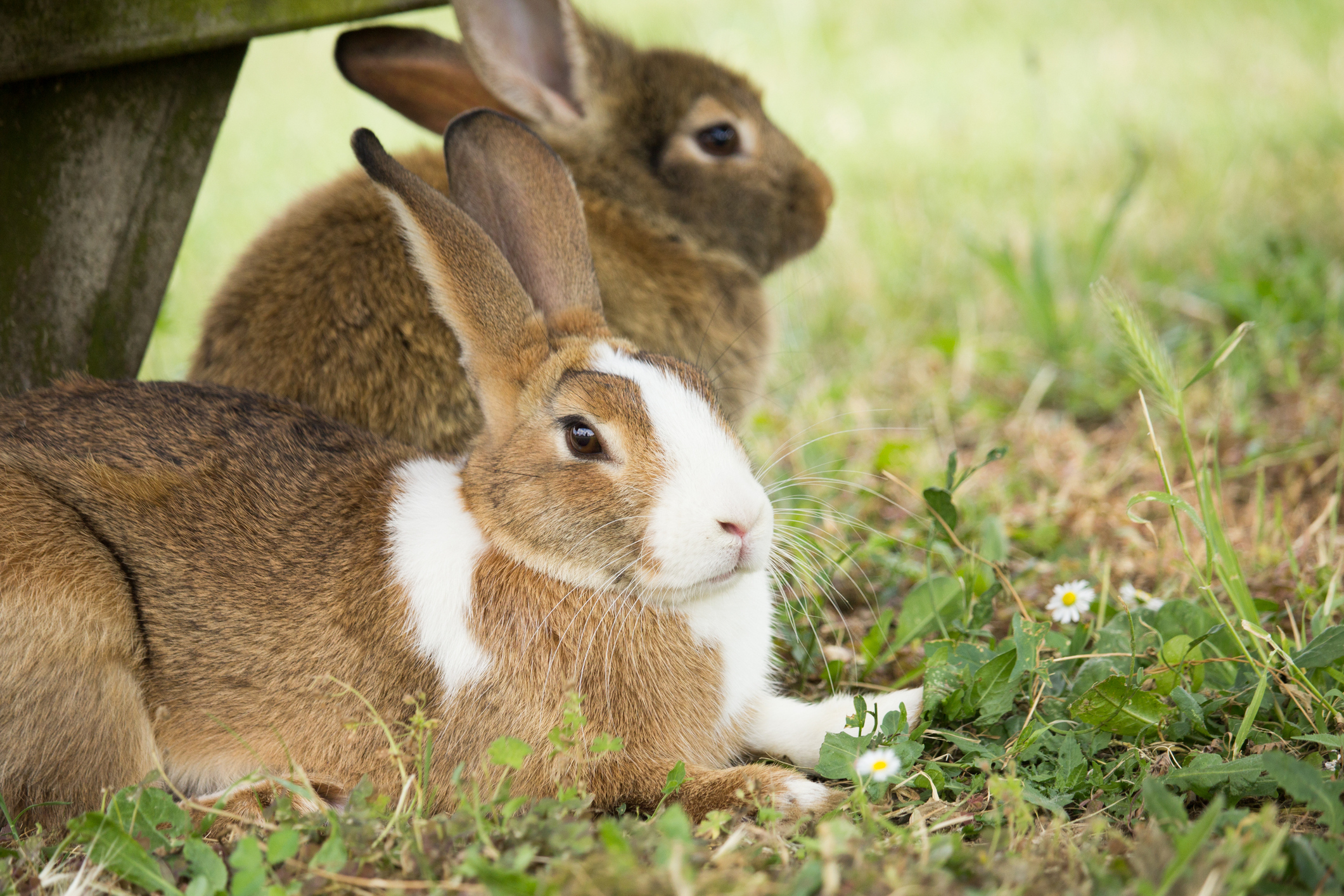 BVA issues advice for Rabbit Awareness Week
