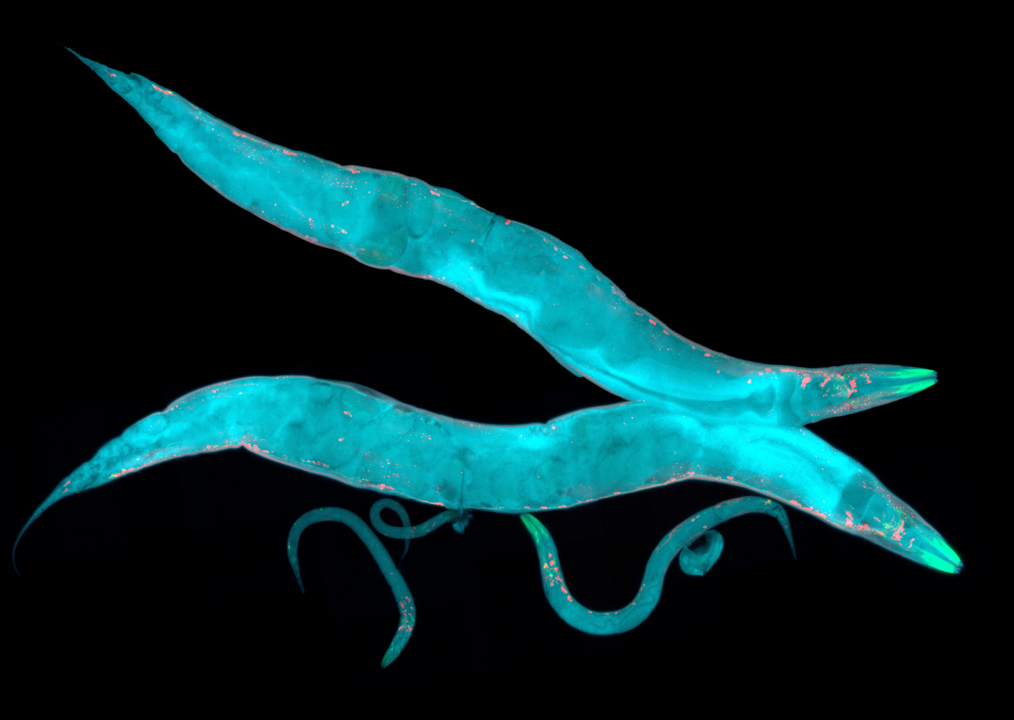 Caenorhabditis elegans, a free-living transparent nematode (roundworm), about 1mm long