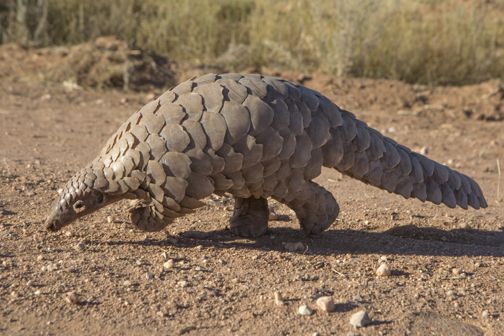 Pangolins are the world's most illegally trafficked animal