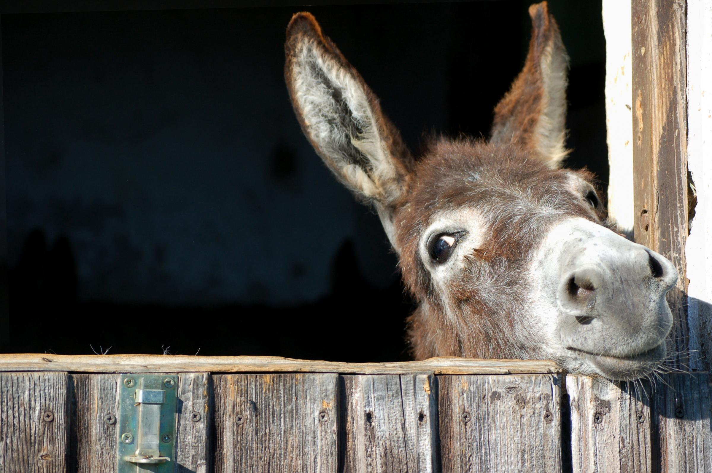 Donkeys are excellent on a smallholding and love company