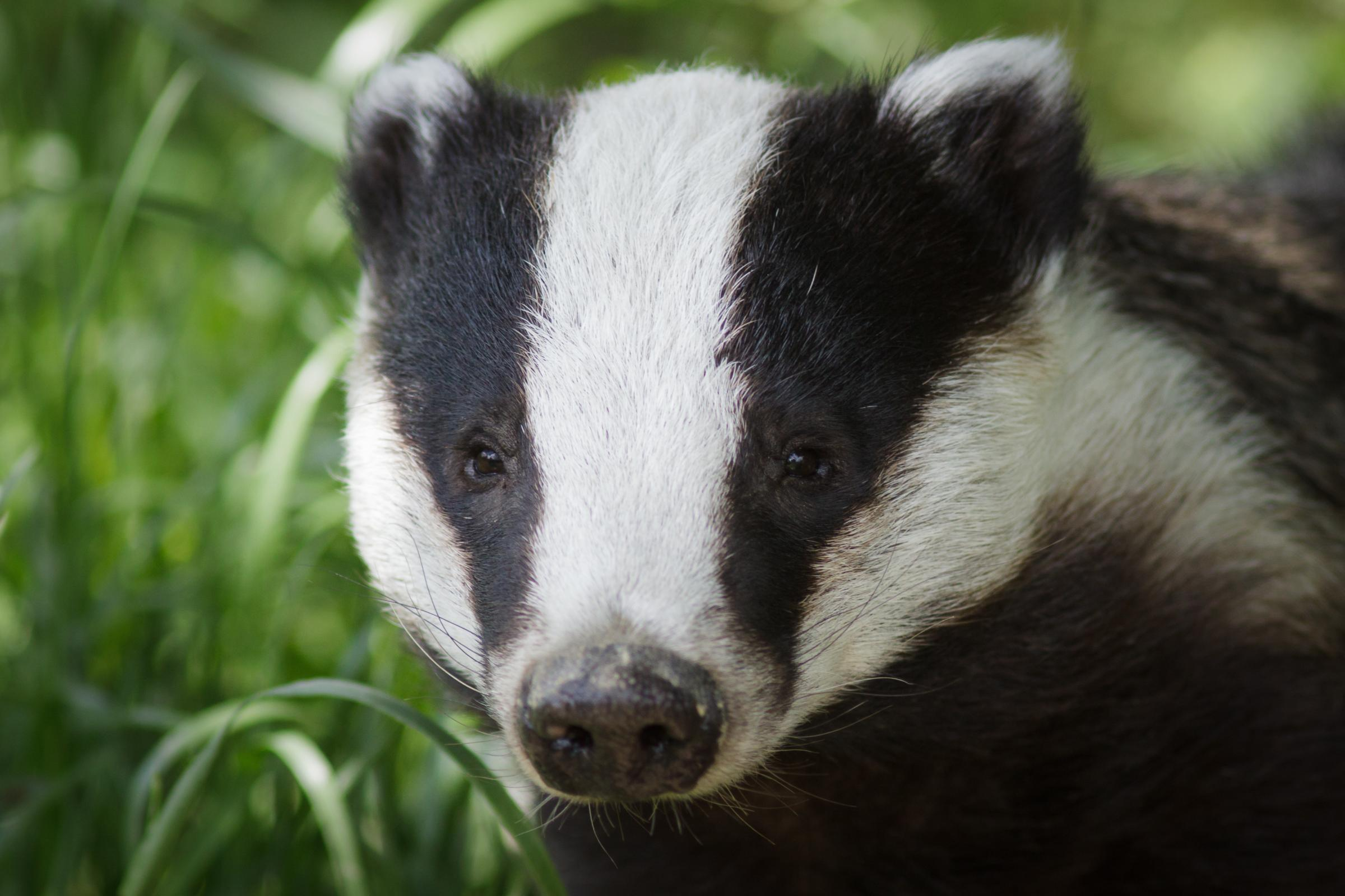 Paignton Zoo is vaccinating wild badgers and testing its exotic animals for TB