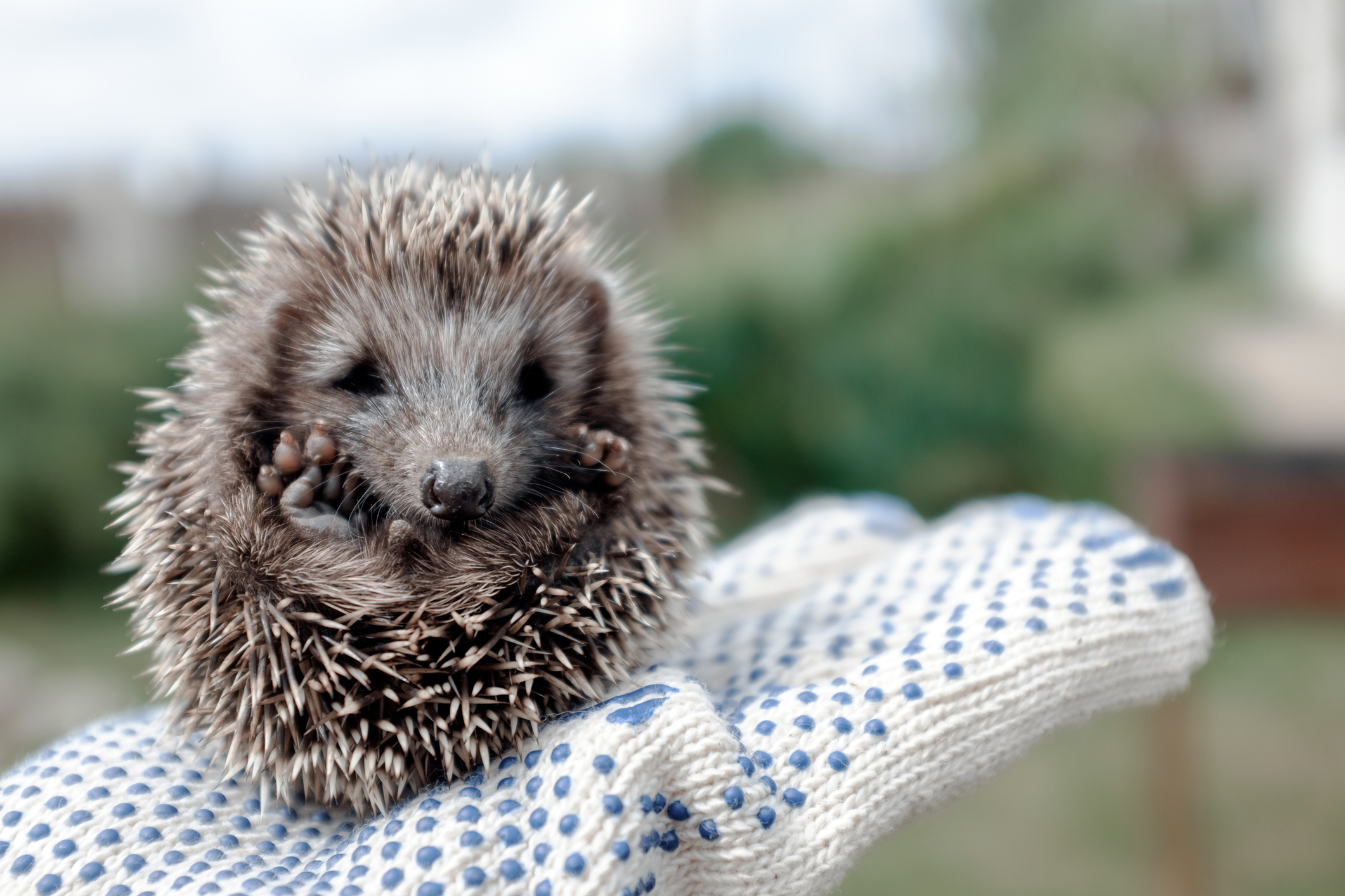 Hedgehogs are at tremendous risk of traps