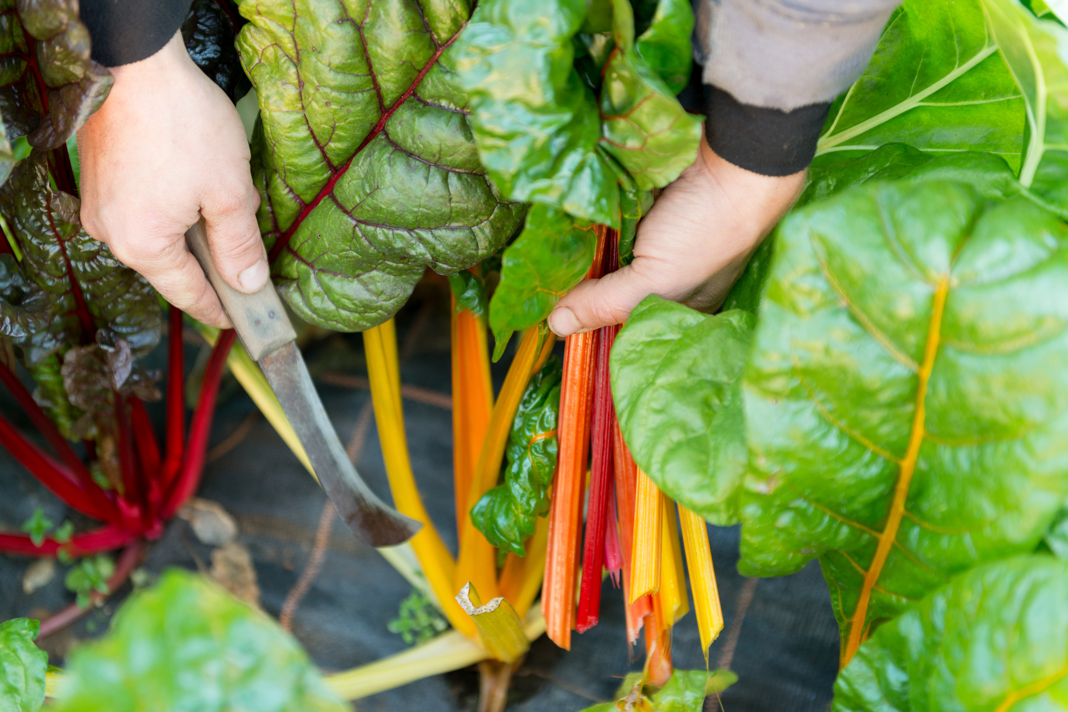 Time to harvest Swiss Chard