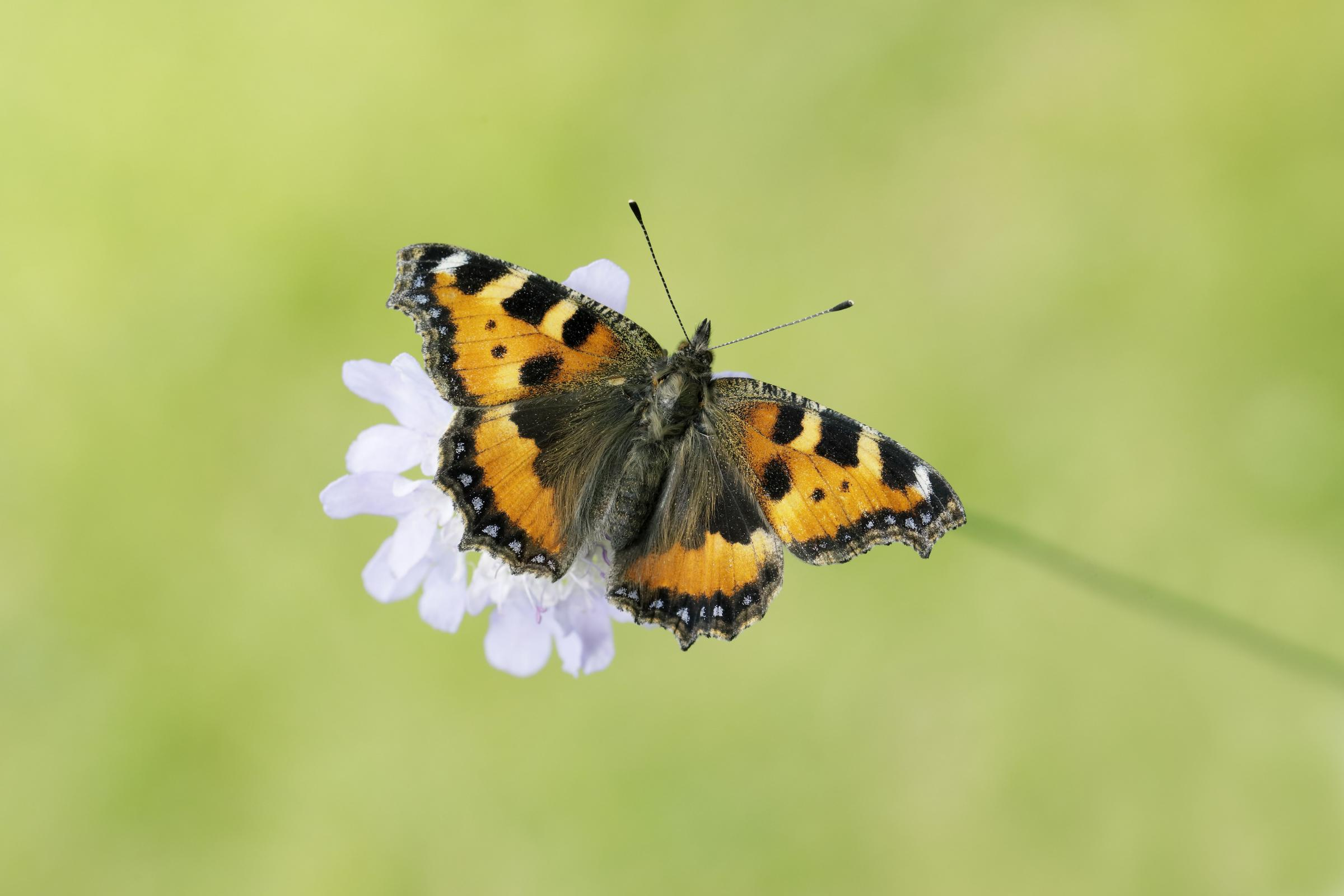 Small Tortoiseshell by Iain H Leach/ Butterfly Conservation