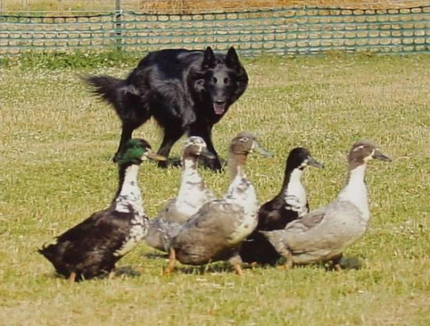 There are many ways of rounding up ducks, even with dogs