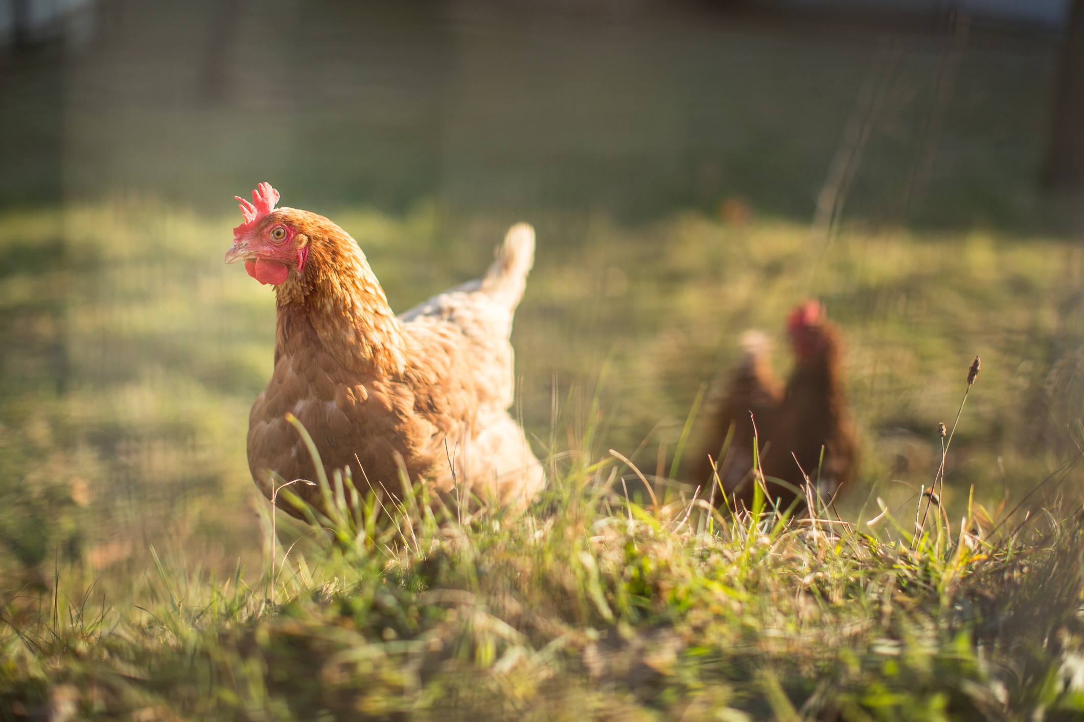 The British Hen Welfare Trust is pushing for free range eggs to be used in processed food