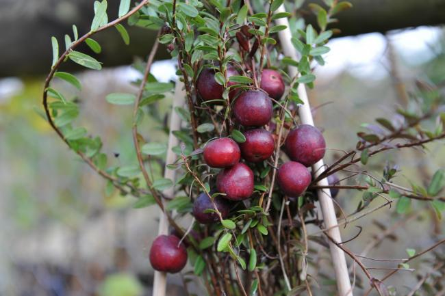 How to grow cranberries: the festive food that's good for you