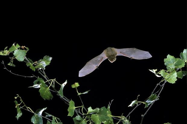 The common pipistrelle is our smallest and most common bat. They feed in a wide range of habitats and can easily eat 3,000 insects a night. Image: (c) Hugh Clark/www.bats.org.uk