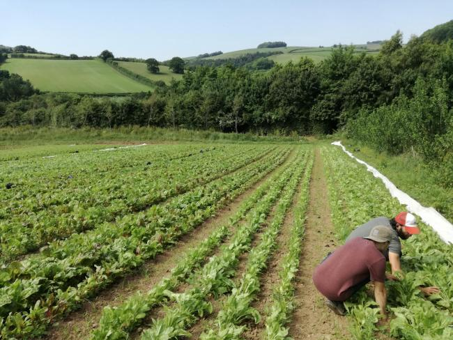 Growers at Riverford teamed up with the Organic Research Centre to test the approach in a real farm setting