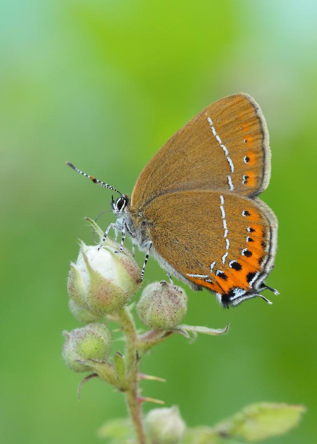 Black Hairstreak. image:Iain H Leach, Butterfly Conservation