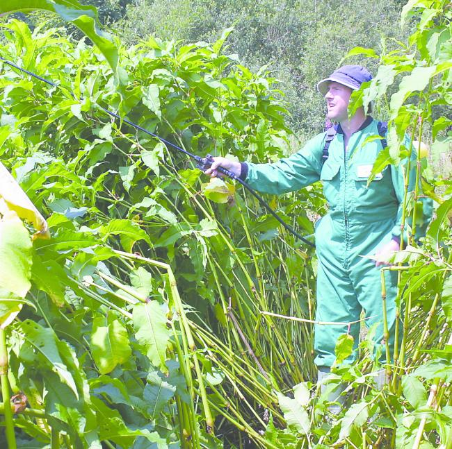 The project will treat over 70 percent of the known 1150 knotweed sites in the National Park