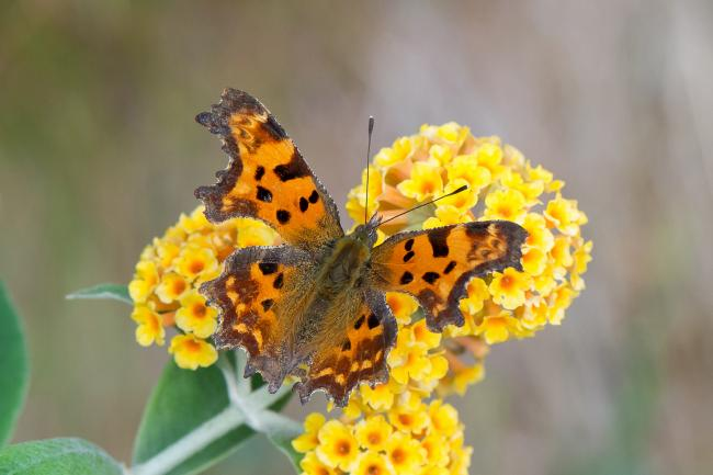 Thanks to climate change, the Comma is making a comeback in Scotland. image: Mike Taylor, Butterfly Conservation