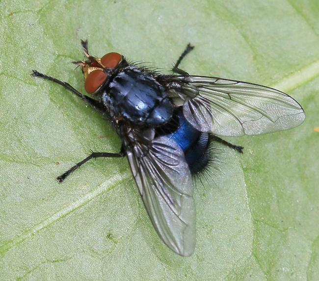 As spring approaches so does the threat of blowfly strike. Image: S Rae. https://commons.wikimedia.org/wiki/File:Blowfly_-_Flickr_-_S._Rae_(2).jpg